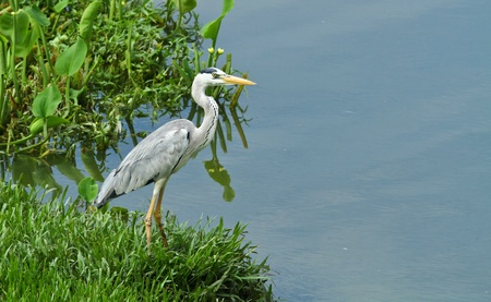 A grey heron posing by the pond in the morning sun