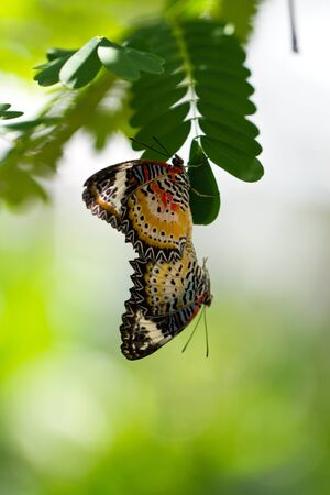 A Pair of Mating Butterflies  photo