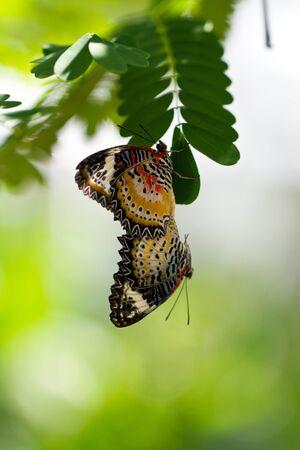 coitus: A Pair of Mating Butterflies