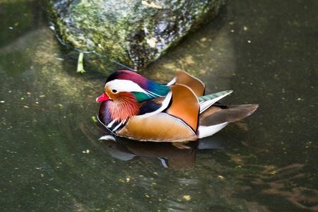 aix galericulata: Mandarin Duck (Aix galericulata) male