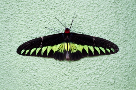 rajah: Birdwing Rajah Brooke (Trogonoptera brookiana) Mariposa Foto de archivo