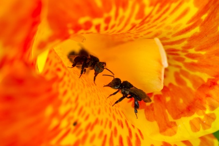 two stingless bee (Trigona spp) guarding the channa flower