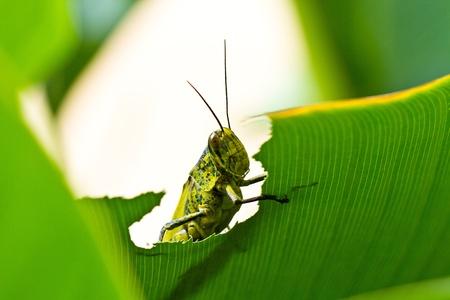 A green grasshopper peeked trough an opening in the leaf Foto de archivo