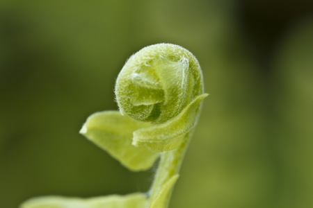 unfurl: young fern leaf unfurl itself in the bright morning light Stock Photo