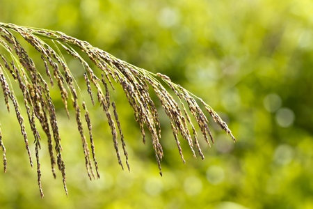Rice-like grass close up with bokeh green background Stock Photo - 12638117