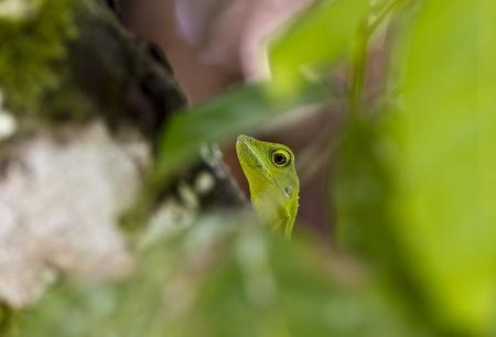 Green lizard peeking through the leaves photo