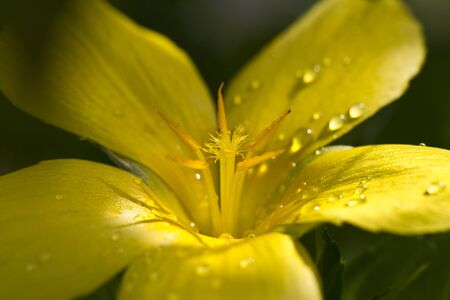 close up view of water droplets on a yellow flower petals with sun ray and dark background photo
