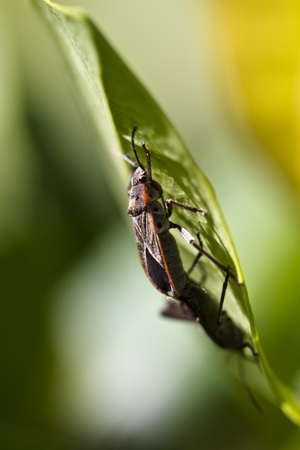 bugs mating on green leaf with blurry background photo