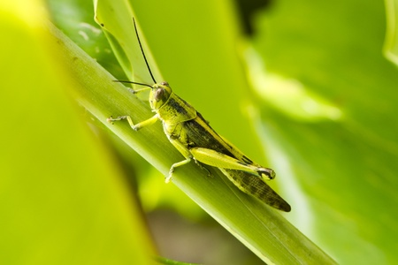 Grasshopper on a ginger leave ready to jump away photo