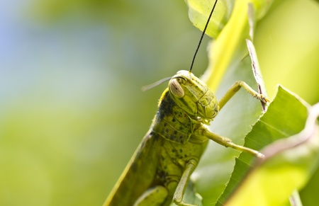 close up view of the grasshopper on green leaf photo