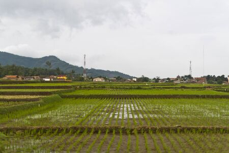 Young paddy in rows in paddy field of Bandung, Jawa Stock Photo - 12639098