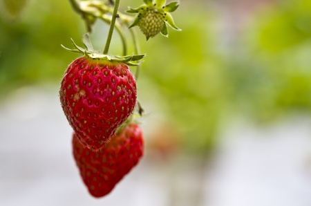 ripe strawberries close up in the farm with bokeh green background photo