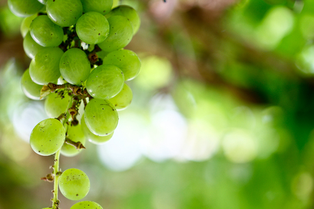 a bunch of green grapes hanging from the plant