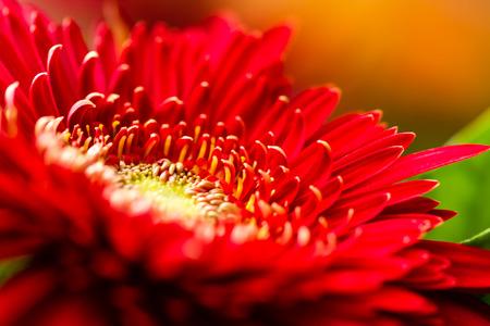 close up: Red Daisy Close up Stock Photo