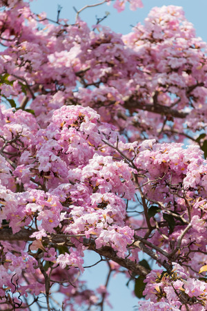 tacoma: Tacoma blooming in Malaysia resembling sakura flower Stock Photo