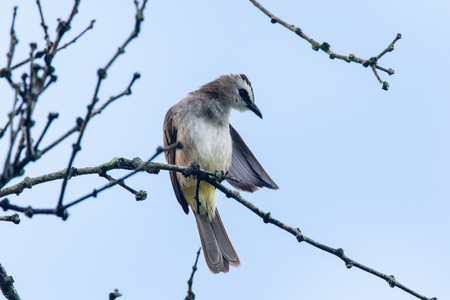 vented: a yellow vented bulbul perching and cleaning itself Stock Photo