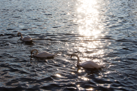 swan swimming in the river with sun reflection on the water surface