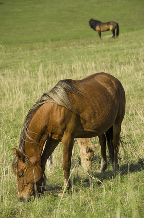 The pregnant horse and foal graze on the green pasture under the supervision of the leader of the herd.