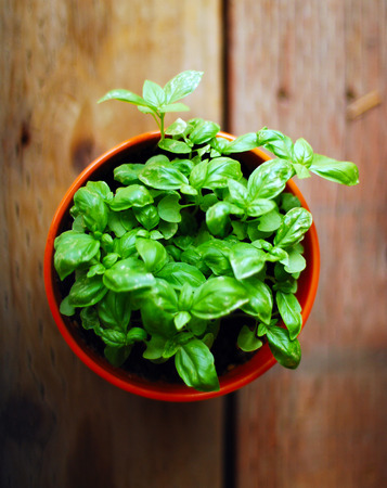 fresh green basil in a pot on a wooden background