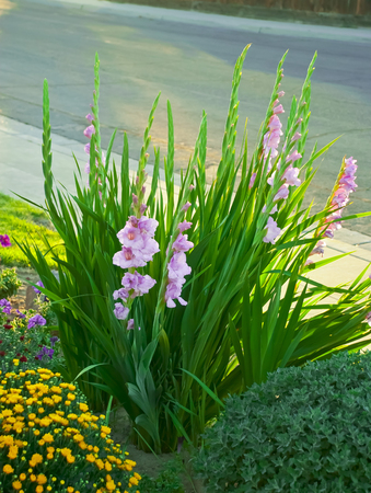 Tall green stalks of gladiolus with lovely pink flowers  Stock Photo