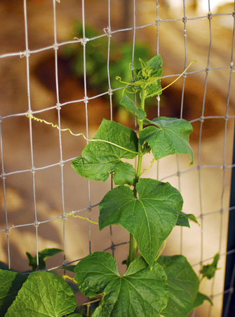 New green cucumber plant in the garden outside.