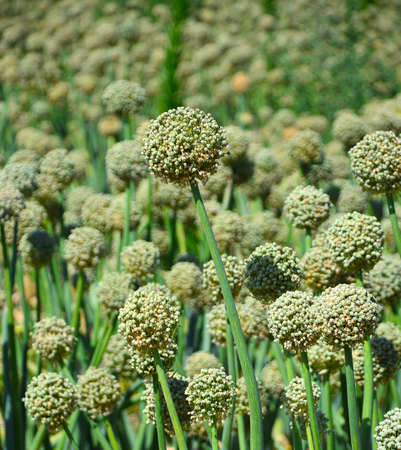 onion valley: Fresh green onions on the field with the seeds