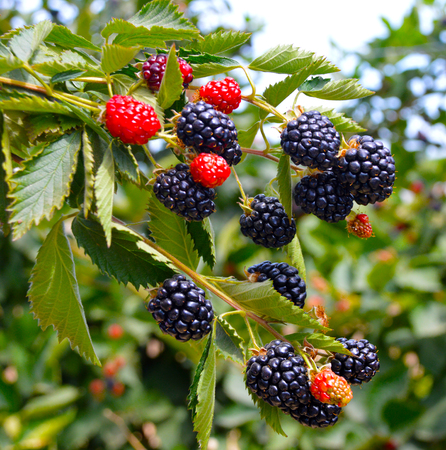 Blackberry plant with berries and green leaves in the garden and on the field.