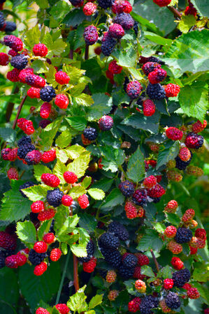 Blackberry plant with berries and green leaves in the garden and on the field. photo