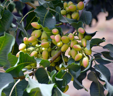 Pistachio nuts on green leaves on the field.