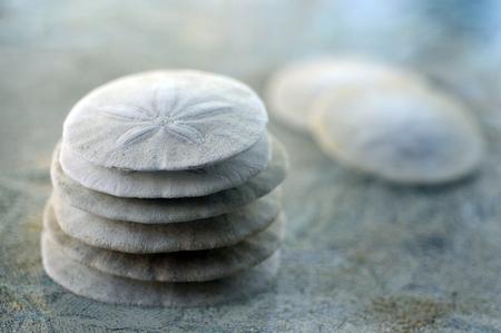 sand dollar: Sand Dollar animal sea shell in a circular shape.