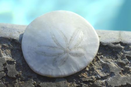 sand dollar: Sand Dollar concha de mar animal en una forma circular. Foto de archivo