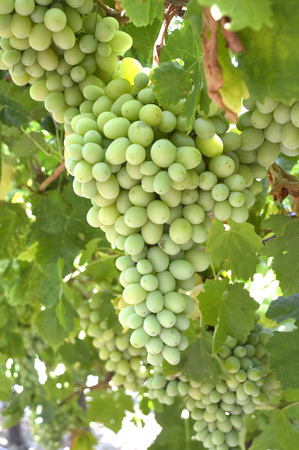 Grapes ripe juicy green and fragrant vines in the field. photo