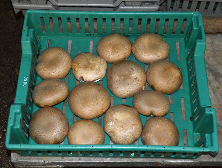 Mushroom Farm dark damp humidity for mushroom cultivation. Stock Photo