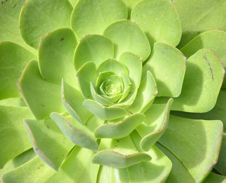 crassula: Crassula plant with beautiful succulent leaves in the garden.