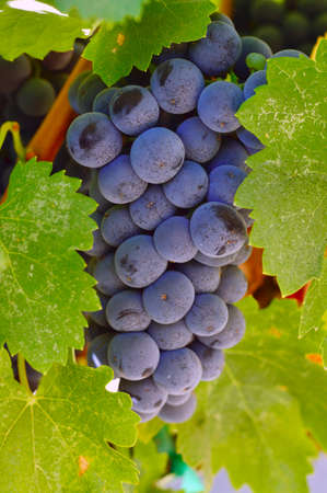 Wine grapes beautiful ripe juicy on a branch on a farm in California. photo