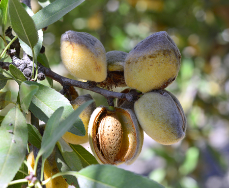 Almonds on branch ripe dry autumn harvest.