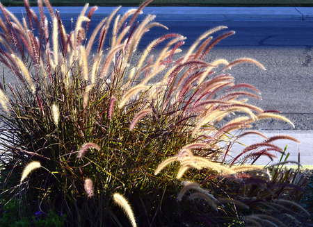 Fountain grass long stems beautiful fluffy brush