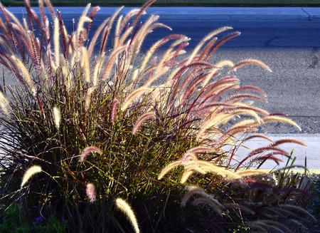 fluffy: Fountain grass long stems beautiful fluffy brush