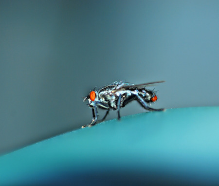 housefly: Housefly with wings feet eyes beautiful shiny blue.