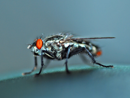 Housefly with wings feet eyes beautiful shiny blue. photo