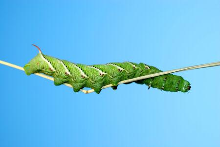 tomato caterpillar: Tomato horn caterpillar green thick beautiful on a branch.