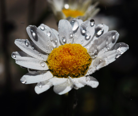 Beautiful fresh white daisy with pollen and water drops in the garden. Stock fotó