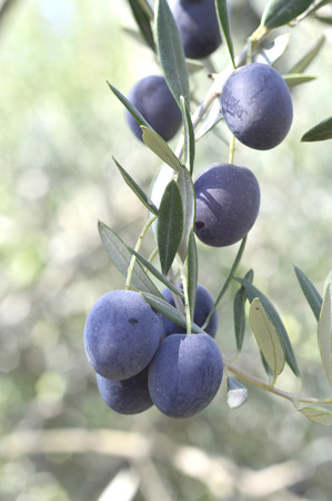 Olives delicious diet fruit green and purple on the branches in the garden.