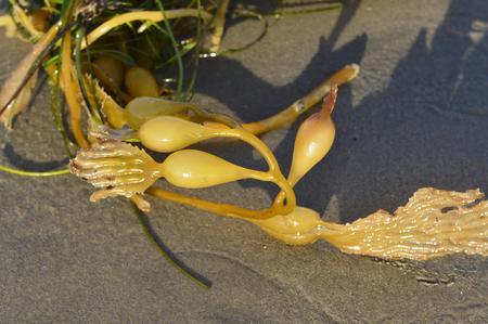 air bladder: Makrotsistis algae in the ocean with big leaves on the beach. Stock Photo