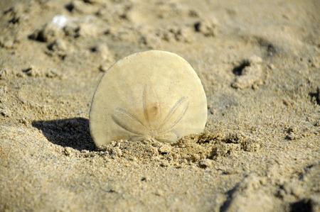 sand dollar: D�lar de arena en la arena blanca en la hermosa por el oc�ano. Foto de archivo