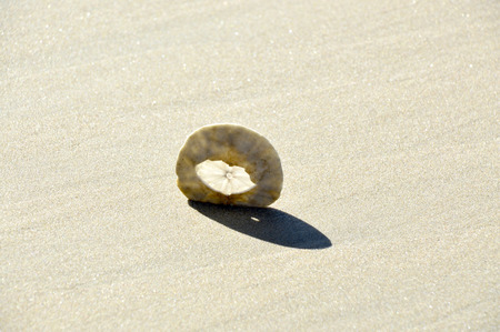 sand dollar: Sand dollar in the white sand in the beautiful by the ocean.