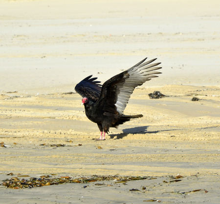 putrefied: Turkey vulture large bird of prey with strong wings. Stock Photo