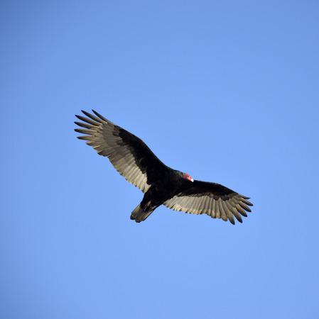 a large bird of prey: Avvoltoio di Turchia grande uccello da preda con forti ali. Archivio Fotografico