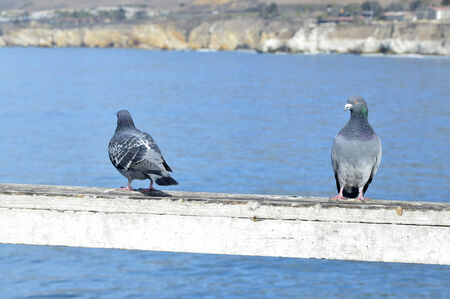 Pigeons are beautiful little birds living in the wild. photo