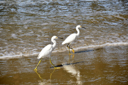 california delta: White heron bird with a long beak and large wings.